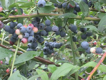 2015_blueberry1.jpg